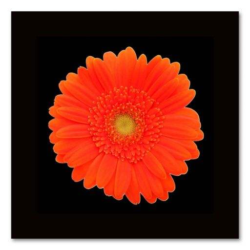 Orange Gerber Daisy Canvas Wall Art