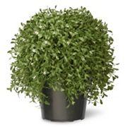 National Tree Company 18' Artificial Argentea Plant