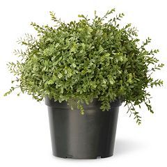 National Tree Company 15' Artificial Mini Tea Leaf Bush