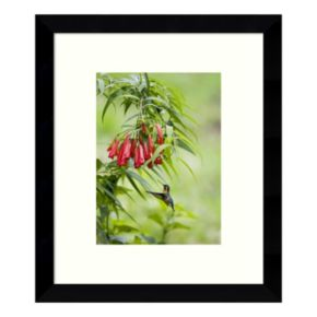Purple-Throated Mountain-Gem Hummingbird Female, Costa Rica Framed Wall Art