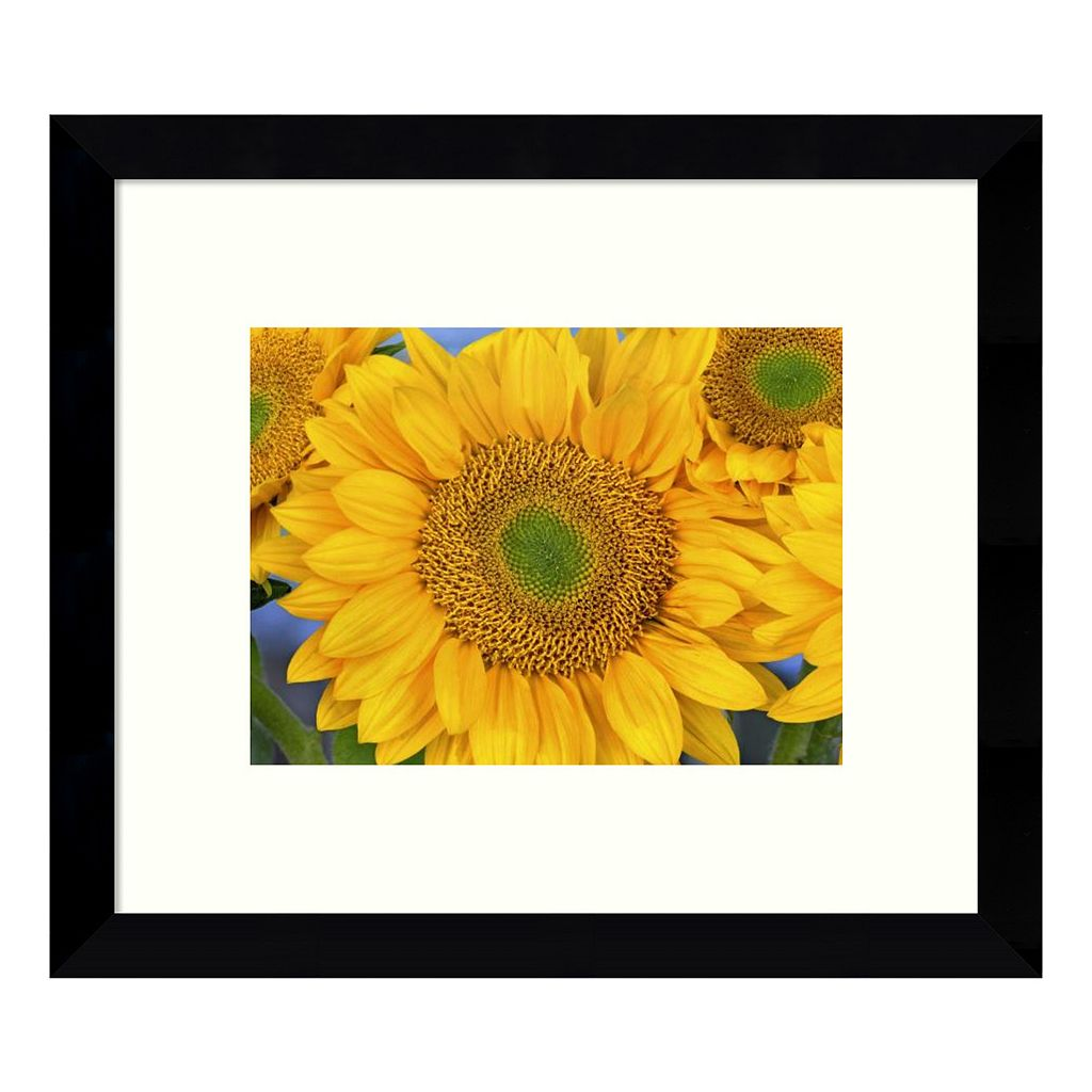 Common Sunflower Group Showing Symmetrical Seed Heads, North America (III) Framed Wall Art