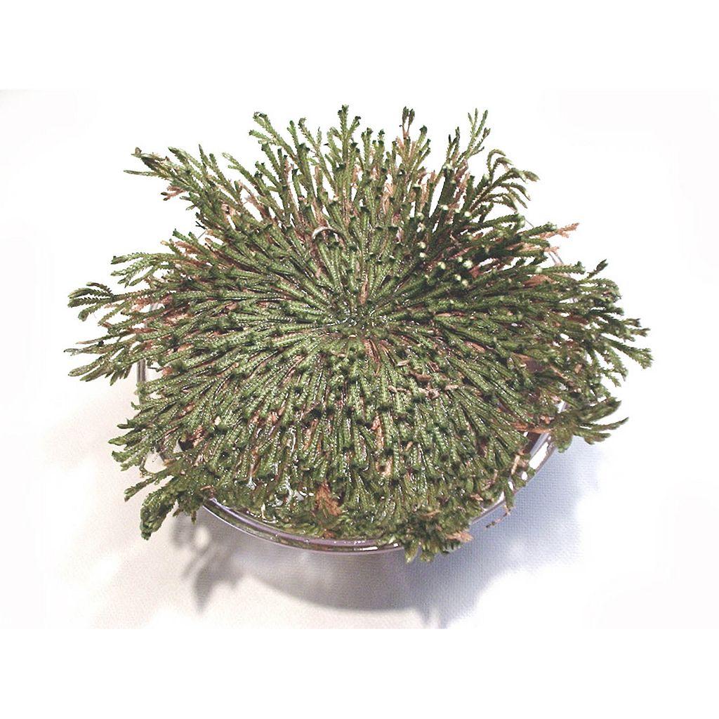 Dunecraft Dinosaur Plant