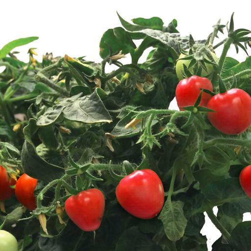 Miracle-Gro AeroGarden Mighty Mini Cherry Tomato 3-Pod Seed Kit