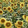 Tuscan Sunflower Pano #1 by Alan Blaustein Canvas Wall Art