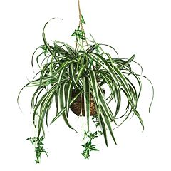 nearly natural Hanging Silk Spider Plant